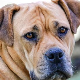 Madusa by Roedie Zandberg - Animals - Dogs Portraits ( dog portraits, dogs, dog, dog portrait,  )