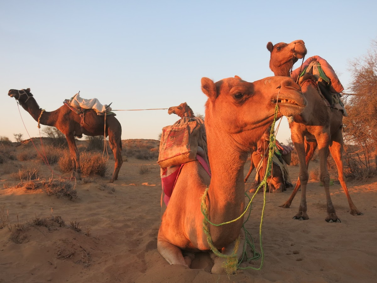 India. Rajasthan Thar Desert Camel Trek. Our camels under the sunrise lights