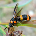 Bottlebrush sawfly
