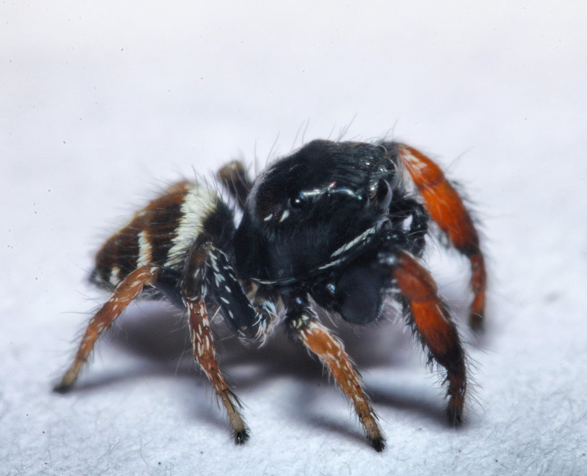 Iva's Jumping Spider