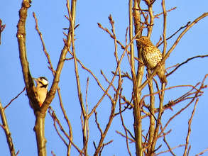 Photo: Priorslee Lake Great Spotted Woodpecker is about the same size as a Mistle Thrush then. (Ed Wilson)