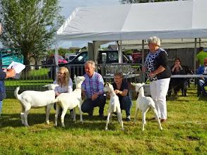 Photo: Rubriek 1: witte lammeren geboren tussen 10-4 en 12-5-2014.  1a. Ollie; 1b. Marit; 1c. Carla; 1d. Corlina.