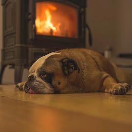 Zipo by Luka Popadić - Animals - Dogs Portraits ( pentax k5, dalmacija, luka popadić, prugovo, croatia, fireplace, sigma 35mm art, fire, beautiful capture, zipo,  )