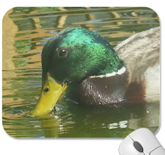 Photo: Ducks page with some duck photos I took   zazzle http://www.zazzle.com/rend​erlyyours/ducks+gifts