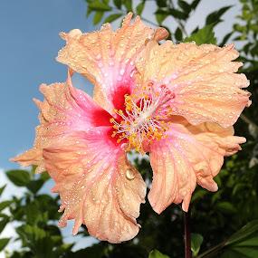 Hibiscus Flower by Paramasivam Tharumalingam - Flowers Single Flower ( nature, nature up close, garden )