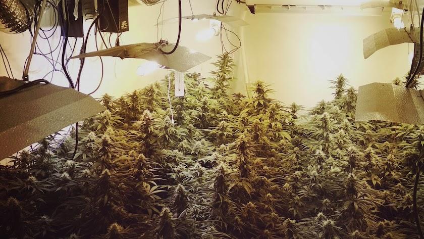 La plantación de marihuana hallada en el interior de la vivienda de la calle Greco.