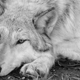 Sleepy Wolf by Viks Pix - Animals - Dogs Portraits ( rest, husky, resting, wolf, lay, lie, sleeping, wolves, malamute, sleep, hybrid, wise, wolfdog, dog, wild, lying )