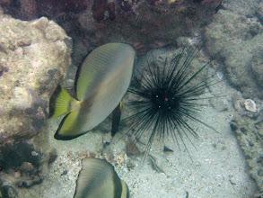 Photo: Pinnate Spadefish