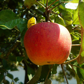 Apple by Helena Moravusova - Nature Up Close Gardens & Produce