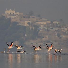 Flamingos Take off by Khawaja Hamza - Animals Birds ( flock of birds, flying, take off, lake, flamingos, flock,  )