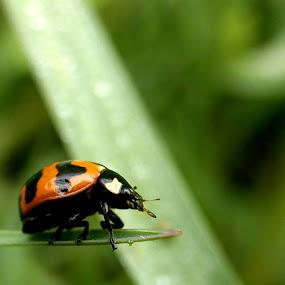 Ladybug On The Edge by Adnan Hidayat Prihastomo - Instagram & Mobile Other ( insects macro, ladybug )