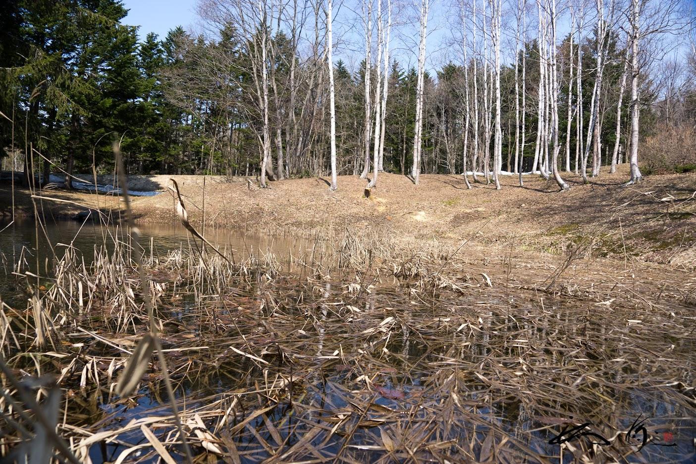 金毘羅公園内、池の枯れた葦