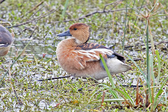 Photo: Fulvous Whistling-Duck