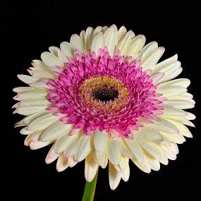 by Sonja VN - Flowers Single Flower