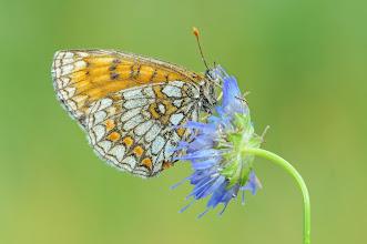 Photo: Melitaea Athalia, Mélitée du Mélampyre  http://lepidoptera-butterflies.blogspot.com/