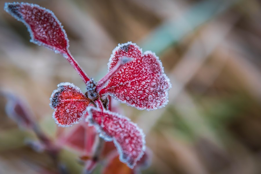 Frosty Red Weed by Lynn Kirchhoff - Nature Up Close Other plants ( november, icy, red, autumn, weed, frost,  )