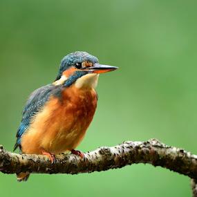 Kingfisher by David Cozens - Animals Birds ( kingfisher )