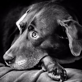Daydreaming by Craig Curlee - Animals - Dogs Portraits ( choc late lab, black and white, dog, lab, portrait )