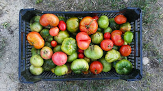 Producción almeriense de tomate ecológico que ha crecido en un 70% en los últimos años.