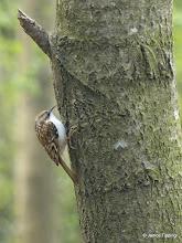 Photo: Tree Creeper