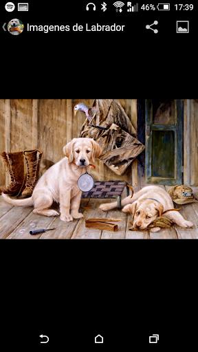 拉布拉多獵犬壁紙