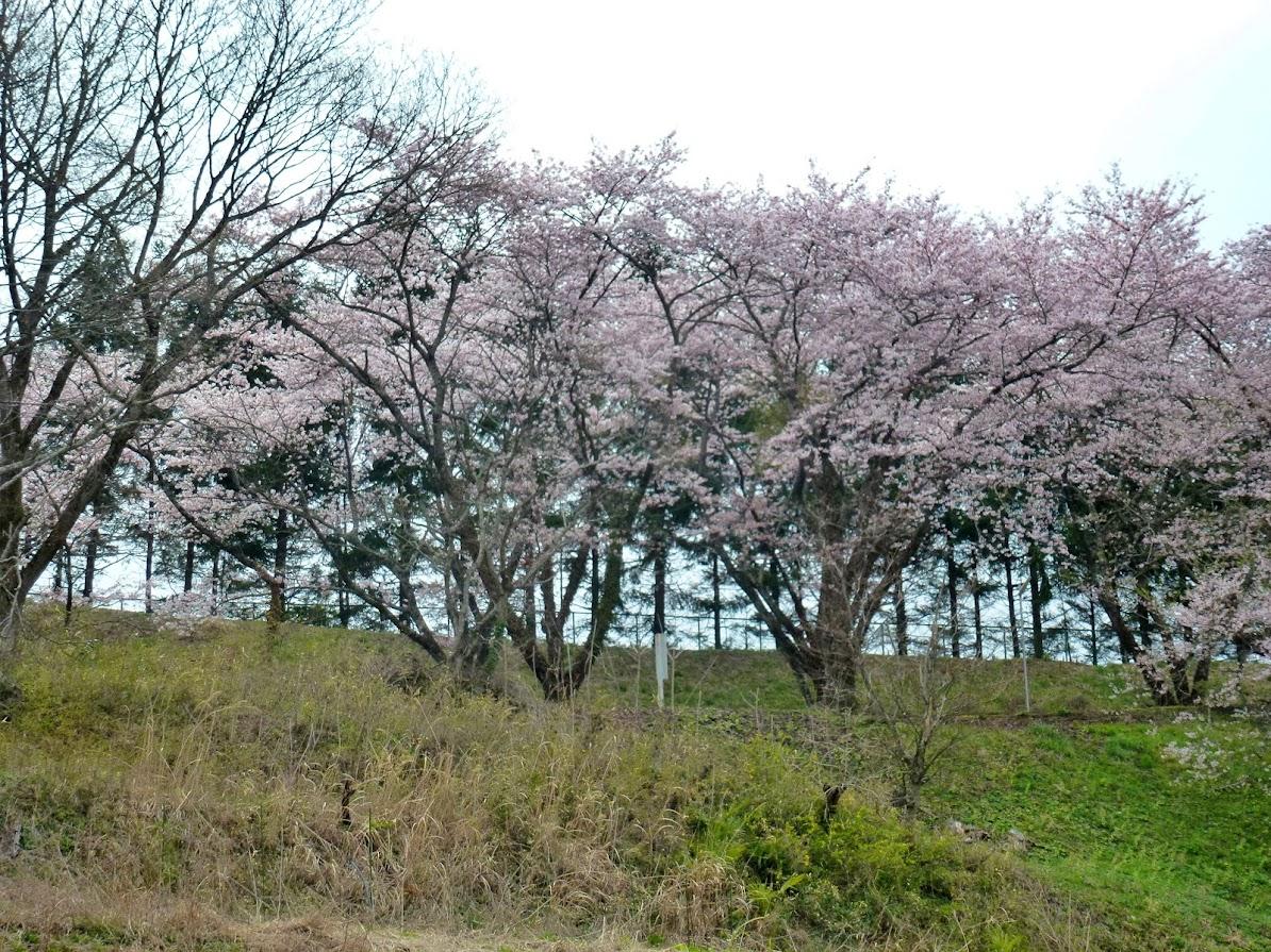 志津川高校の桜並木(2012.4.26)写真1