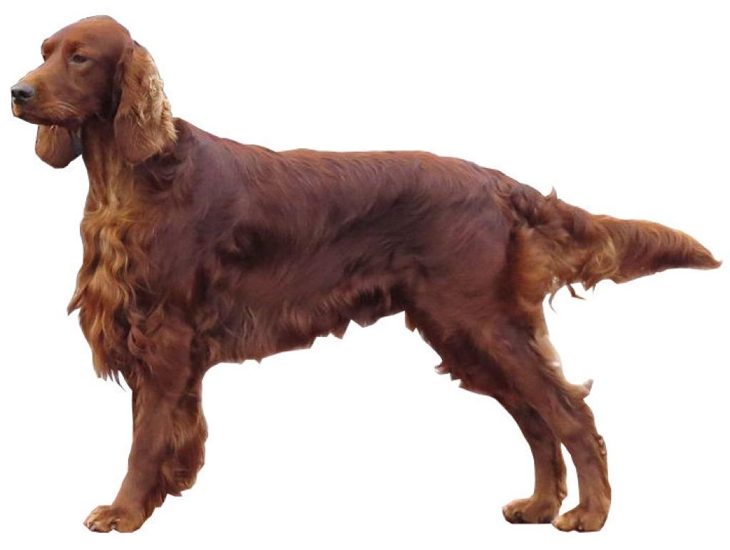 irish setters wallpaper download - photo #35