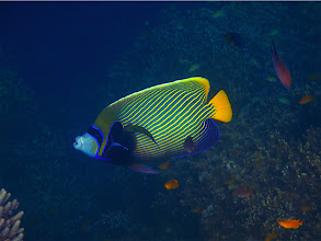 Photo: Emperor angelfish