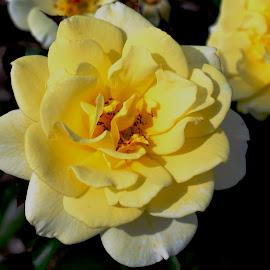 Cantigny Yellow by Beth Bowman - Flowers Flower Gardens (  )