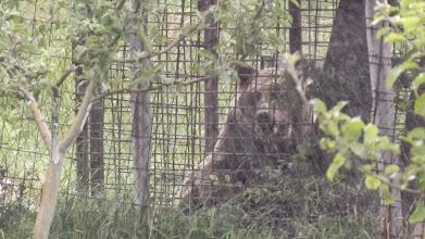 Photo: Medve,mint háziállat