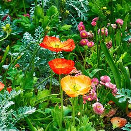 Poppies in Luxembourg garden by Radu Eftimie - Flowers Flower Gardens ( red, paris, luxembourg garden, poppies, yelloe )