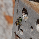 Leafcutter bee