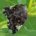 Black/Ricaniid Planthopper