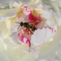 Cuore di polline di martapdn