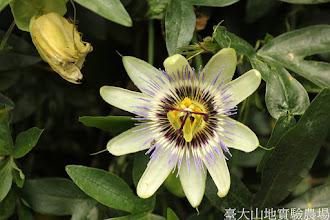 Photo: 拍攝地點: 梅峰-溫帶花卉區 拍攝植物: 紫冠西番蓮 拍攝日期: 2015_07_29_FY