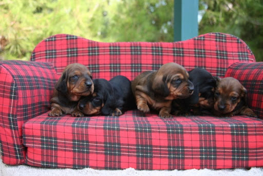 Dachshund Puppy Wallpapers
