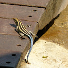 Bluetail scrub lizard