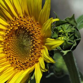 Sunflower by Jud Joyce - Nature Up Close Flowers - 2011-2013 ( macro, bright, plants, sunflower, yellow )