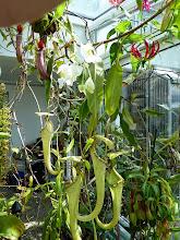 Photo: Nepenthes rafflesiana var. alata & N. albomarginata & N. alata & Gloriosa rothschildiana
