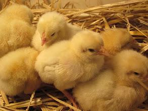 Photo: Chick cuteness