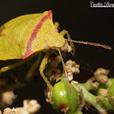 Red-shouldered Stink Bug