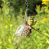 The wasp spider