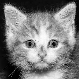 Young Cat by Carl Albro - Black & White Animals ( cats, kitten, black and white )