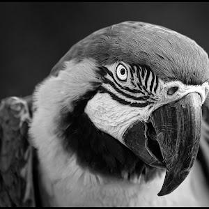 Blue Yellow Macaw-6.jpg