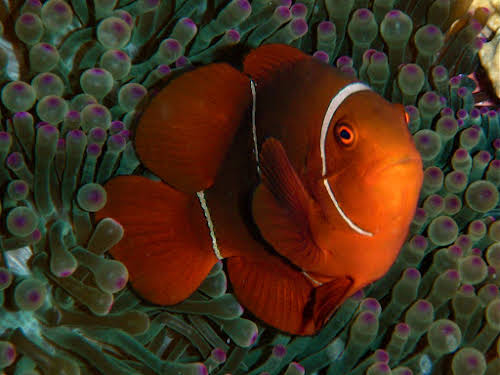 Spike-Cheek Anemonefish
