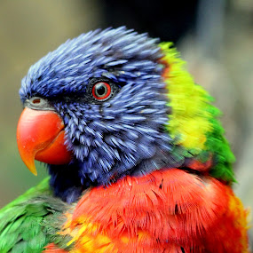 Lorekeet by Ralph Harvey - Animals Birds ( bird, wildlife, bristol zoo, ralph harvey, lorikeet,  )