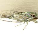 Small green cicada