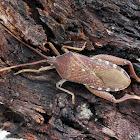 Eucalyptus Tip-wilter Bug (male)