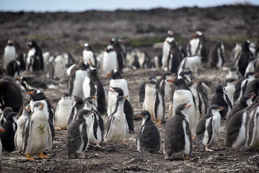 DSC_0712.jpg - A large group of Magellanic penguins.