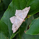 Common Angle Moth